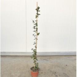 Pianta Lonicera Caprifolium