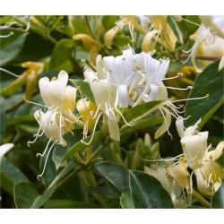 Lonicera Caprifolium Plant