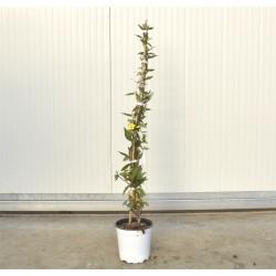 Gelsemium Sempervirens Plant