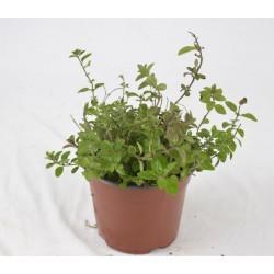 Origanum Vulgare Plant