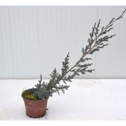 Juniperus Chinensis Blue...