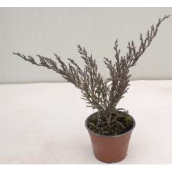 Juniperus Horizontalis...
