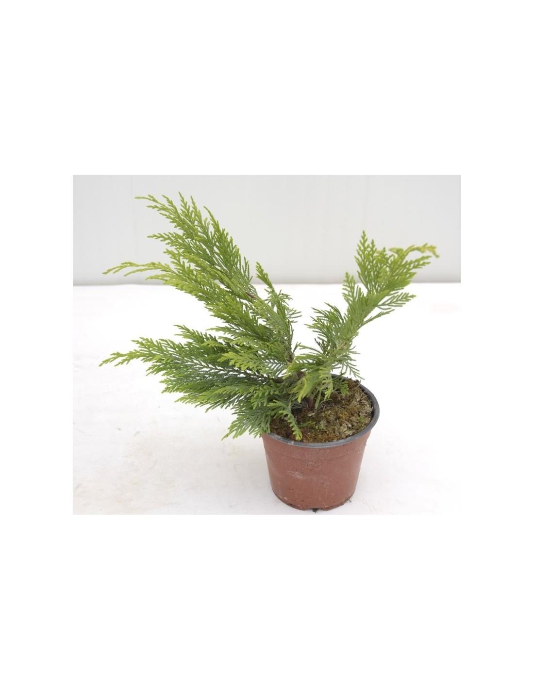 Piante Siepe Crescita Rapida vendita pianta cupressocyparis leylandii- piante da siepe|mondo piante