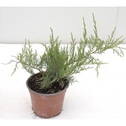 Pianta Juniperus...