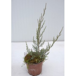 Pianta Juniperus Chinensis...