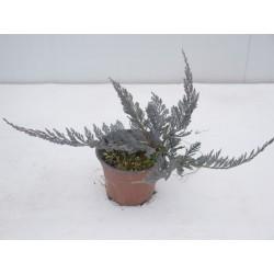 Pianta Juniperus Squamata...