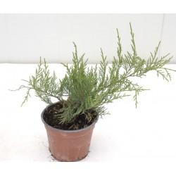 Juniperus Pfitzeriana Old...
