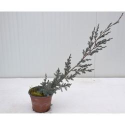 Juniperus Horizontalis Blue...
