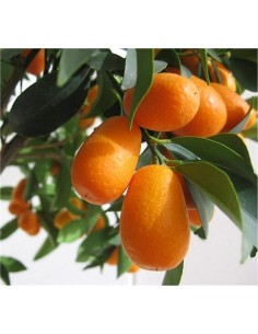 Chinese Mandarin Tree