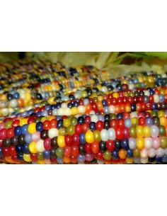Harlequin Maize Seeds