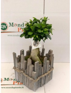 Bonsai Ficus Ginseng in...