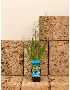 Alisma lanceolatum Plant