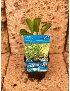 Alisma Parviflorum Plant