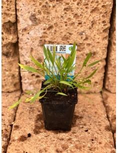 Baldellia Ranunculoides Plant