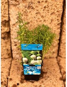 Mentha Cervina 'Alba' Plant