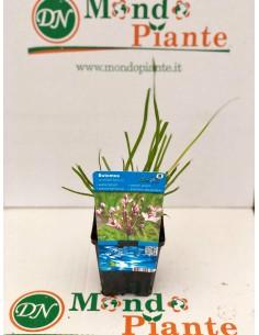 Butomus Umbellatus Plant