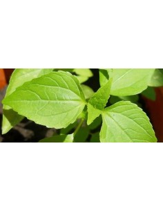 Lemon Basil Plant