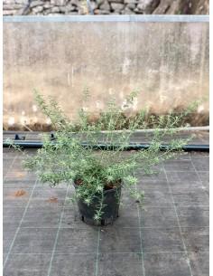 Pianta Westringia Vaso 18cm