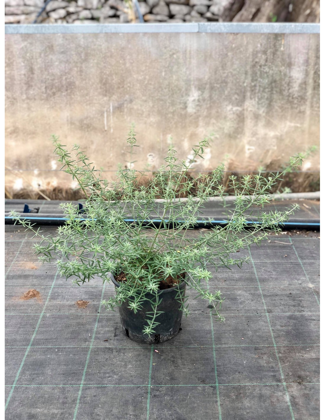 Piante Siepe Crescita Rapida vendita pianta westringia - piante da cespuglio online | mondo piante