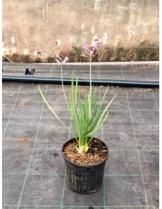 Tulbaghia Plant