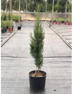 Cypress Plant Vase 24cm