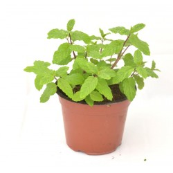 copy of Peppermint Plant
