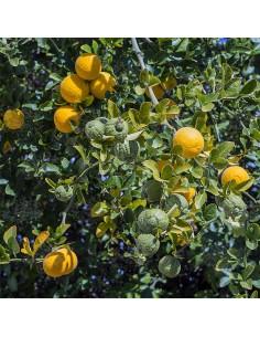 Semi di Citrus Triptera