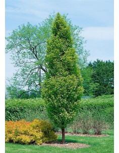 Carpinus Betulus Seeds