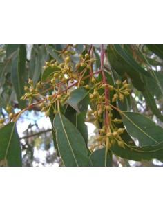 Semi di Eucalyptus...