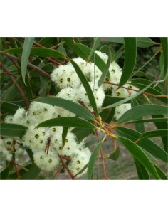 Eucalyptus Bicostata Seeds