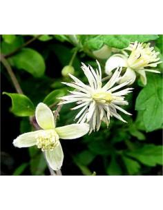 Clematis Vitalba Seeds