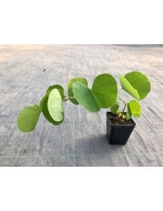 Cercis plant