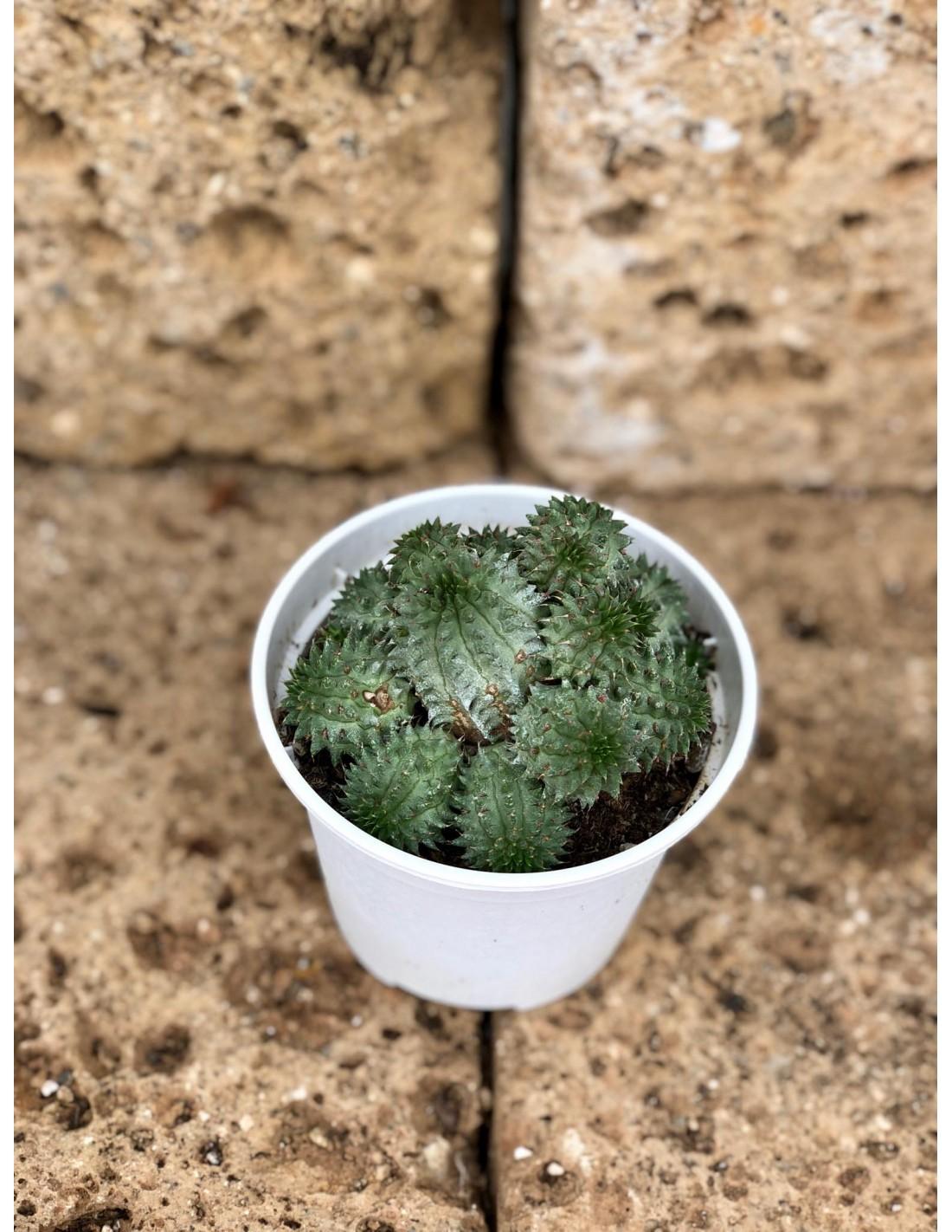 Piante Grasse Piccole Prezzi vendita pianta grassa euphorbia monstrose-piante grasse | mondo piante