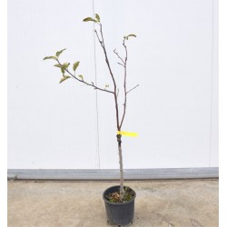 5 Fruit trees of one year...