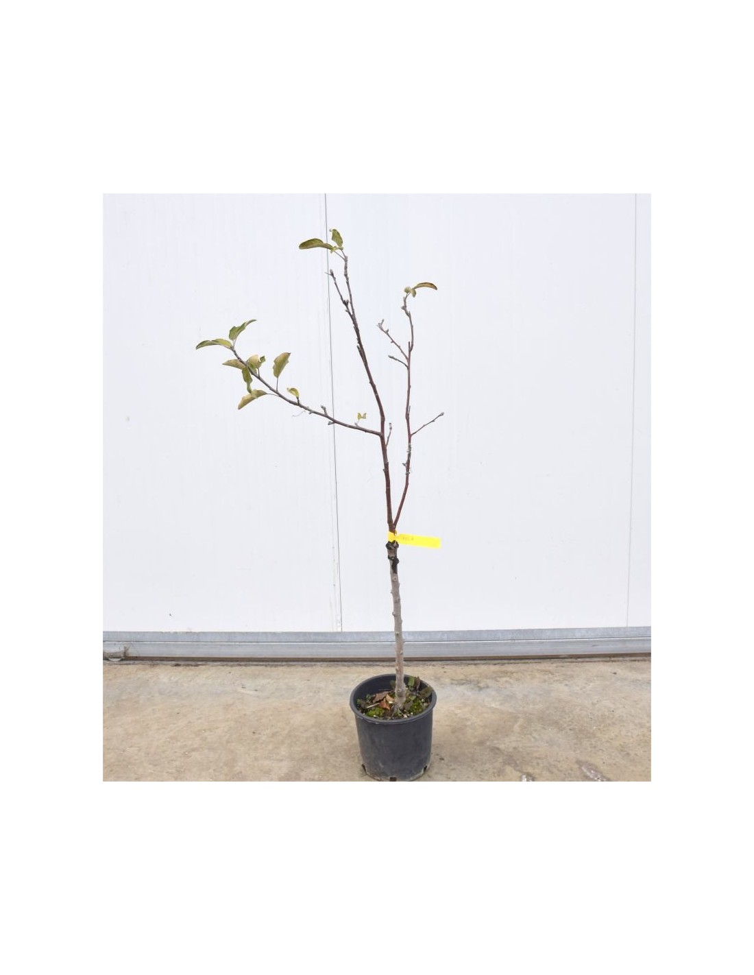 Piante Da Frutto Sempreverdi vendita mix di alberi da frutto-alberi da frutto online|mondo piante