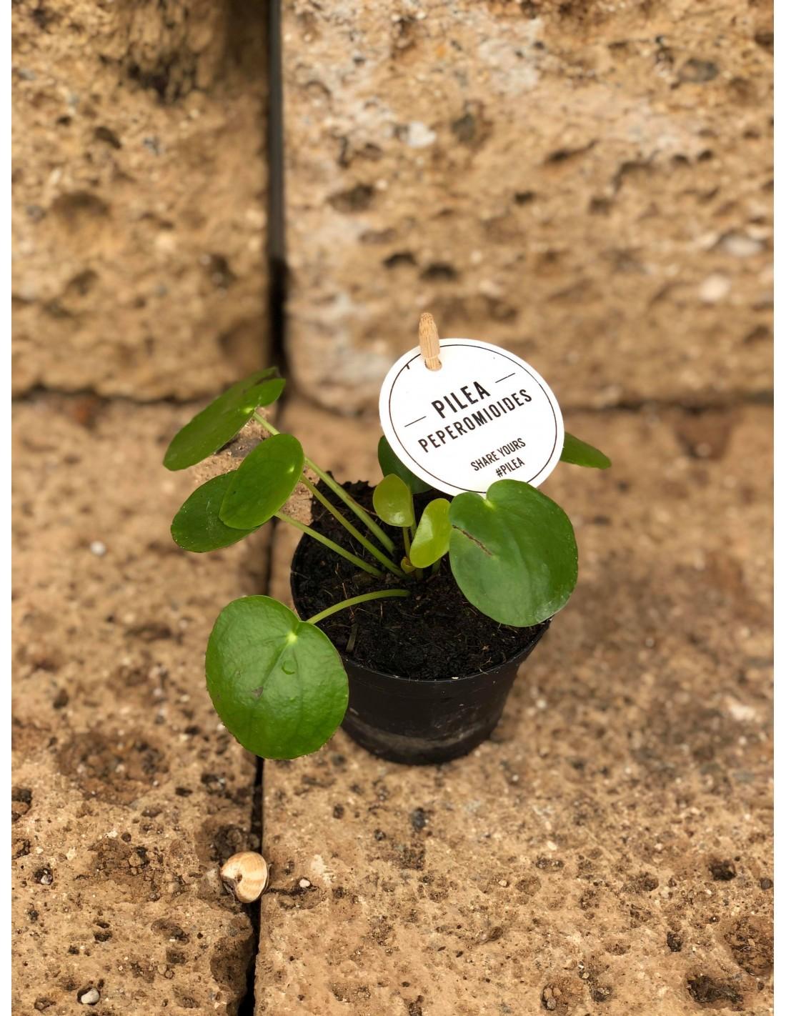 Albero Della Fortuna Pianta vendita pianta pilea peperomioides- piante ornamentali| mondo piante