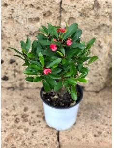 Pianta Euphorbia Vaso 14cm