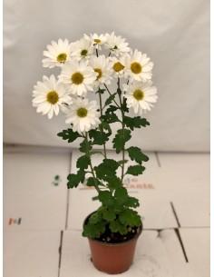 Pianta Crisantemo Vaso 14cm