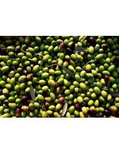 'Cima di Bitonto' Olive Tree