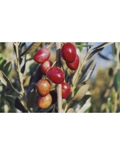 'Nociara' Olive tree