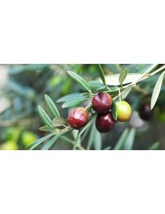 'Coratina' Olive Tree