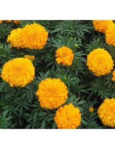 Tall Double Marigold Seeds