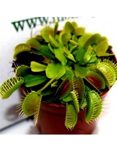 Pianta Carnivora Dionaea