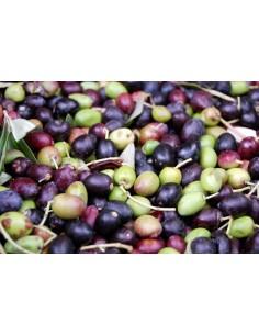 'Frantoio' Olive tree