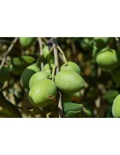 'Bella di Spagna' Olive Tree