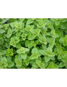 Origanum Dictamnus Plant