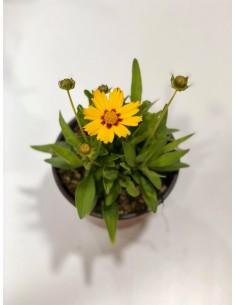 Pianta Coreopsis Vaso 14cm