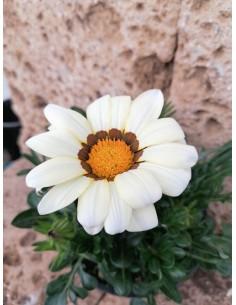 Pianta Gazania Vaso 14cm...