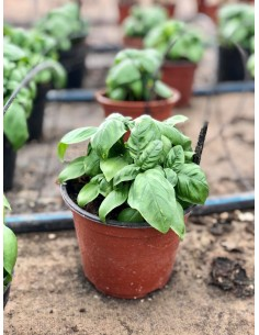 copy of Genovese Basil Plant