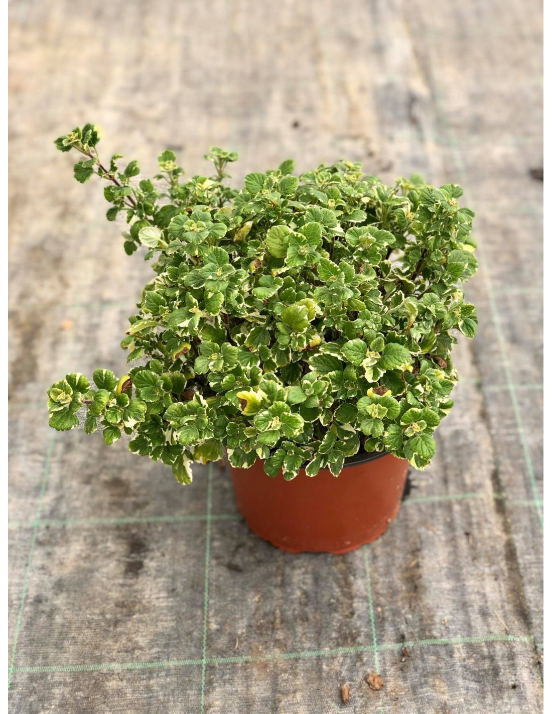 On Line Sale Of The Incense Plant Aromatic Plants Mondo Piante